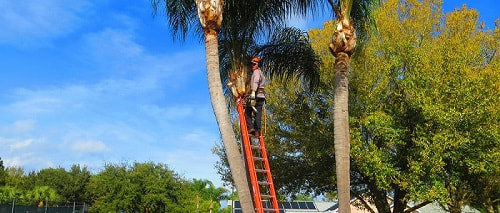 Palm tree branch removal